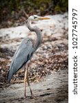 great blue heron   ardea...   Shutterstock . vector #1027745797
