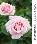 Small photo of Frederic Mistral - hybrid tea rose