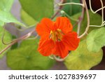 Nasturtium Plant With Orange...