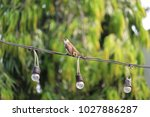 Small photo of Yellow vented Bulbil on wire