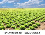 field of salad in spring under amazing sky - stock photo