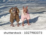 two cute american hairless... | Shutterstock . vector #1027983373
