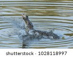 a wild saltwater crocodile... | Shutterstock . vector #1028118997