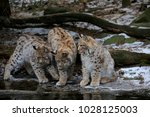 eurasian lynx  lynx lynx  three ...   Shutterstock . vector #1028125003