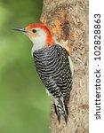 Male Red Bellied Woodpecker ...