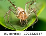 Small photo of Lynx Spider the family Oxyopidae. ,ambushing pollinators, much as crab spiders