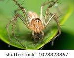 lynx spider the family...   Shutterstock . vector #1028323867