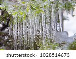 Tree Branch With Icicles. Clos...