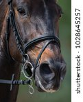 Small photo of Portrait of sport horse in pelham bridle with flash noseband.