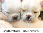 cute little french bulldog... | Shutterstock . vector #1028704843