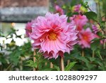 Close Up Pink Dahlia Flowers I...