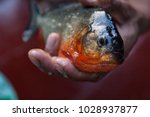 piranha fished in amazon rivers | Shutterstock . vector #1028937877