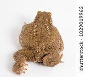 common toad or european toad ... | Shutterstock . vector #1029019963
