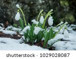 white gentle snowdrops in the... | Shutterstock . vector #1029028087