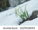 white gentle snowdrops in the... | Shutterstock . vector #1029028093
