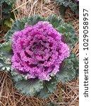 top view of purple lettuce in...   Shutterstock . vector #1029058957