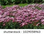 full frame of purple flowers in ...   Shutterstock . vector #1029058963
