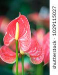 close up of pink anthurium or... | Shutterstock . vector #1029115027