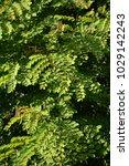 Small photo of caesalpinia pulcherrima leaf in nature garden