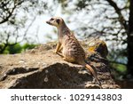 suricata looking forward in... | Shutterstock . vector #1029143803