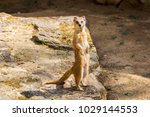 suricata looking forward in... | Shutterstock . vector #1029144553