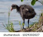 juvenile of eurasian coot bird...   Shutterstock . vector #1029202027