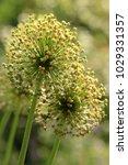 allium cristophii  persian... | Shutterstock . vector #1029331357