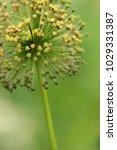 allium cristophii  persian... | Shutterstock . vector #1029331387