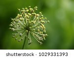 allium cristophii  persian... | Shutterstock . vector #1029331393
