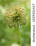 allium cristophii  persian... | Shutterstock . vector #1029331417