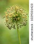 allium cristophii  persian... | Shutterstock . vector #1029331423