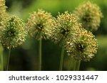 allium cristophii  persian... | Shutterstock . vector #1029331447