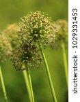 allium cristophii  persian... | Shutterstock . vector #1029331453