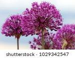 allium cristophii  persian... | Shutterstock . vector #1029342547