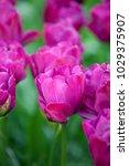 abigail tulip double late tulip ... | Shutterstock . vector #1029375907