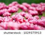 tulips wedding gift on a... | Shutterstock . vector #1029375913