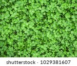 green clover covering ground on ... | Shutterstock . vector #1029381607