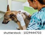 veterinarian woman examines dog'...   Shutterstock . vector #1029444703