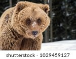 closeup brown bear portrait | Shutterstock . vector #1029459127