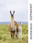 Small photo of A llama and her baby in the Altiplano in Bolivia