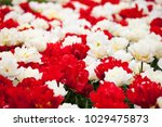 a flowerbed of red and white... | Shutterstock . vector #1029475873