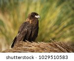 close up of a juvenile striated ...   Shutterstock . vector #1029510583