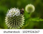 Blossom Of Great Globe Thistle...