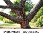 the stone pine  botanical name...   Shutterstock . vector #1029581857