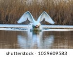 white swan ran along the water  ... | Shutterstock . vector #1029609583