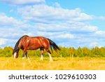 thoroughbred horse grazes among ... | Shutterstock . vector #1029610303