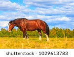 shire horse on a summer pasture ... | Shutterstock . vector #1029613783