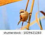 eurasian penduline tit is... | Shutterstock . vector #1029621283