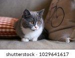 grey cat  shot indoors | Shutterstock . vector #1029641617