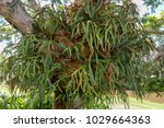 parasitic tree lily  new zealand | Shutterstock . vector #1029664363